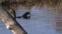 Northern River Otter Swimming In Pond, Lifting Head, Tail, Looking Around