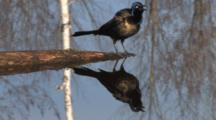 Common Grackle On Branch In Water, Zoom, Calling, Exits