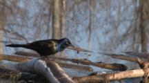 Common Grackle On Branch In Water, Hunting Insects, Exits