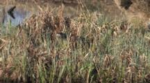 Northern River Otter In Tall Grass At Water's Edge, Puts Head Down Into Grass