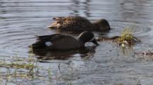 Blue Winged Teal Drake Feeding In Pond, Hen Enters, Feeds