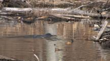 Northern River Otter, Swimming, Dives Next To Beaver Lodge