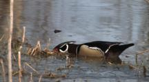 Wood Duck Drake Feeding In Pond, Lifting Head, Listening, Looking For Danger