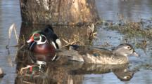 Wood Ducks Feeding In Pond, Hen In Front, Sideways, Drake In Back, Both Look For Danger, Reflection