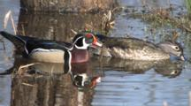 Wood Ducks Feeding In Pond, Drake Moves In Front, Both Look To Back For Danger,Reflection