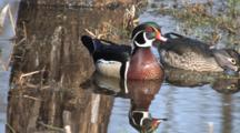 Wood Ducks Feeding In Pond,. Drake Looking, Calling, Hen Feeding, Reflection