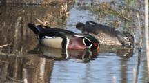 Wood Ducks Feeding In Pond, Drake Stops, Looks, Hen Keeps Feeding, Reflection