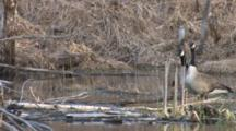 Canada Geese Standing By Water,Hen Bathes, Gander Sees Danger Overhead, Both Exit