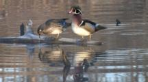 Wood Duck Pair Enters, Hops Onto Log, Preens, Reflection In Water