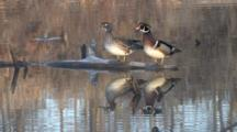 Wood Duck Pair On Log, Bobbing Heads, Sounding, Reflection In Water