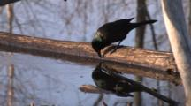 Common Grackle On Branch In Water, Dipping Beak, Walking Back & Forth, Looking Into Water, Exits
