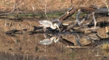 Great Blue Heron Hunting In Pond, Turns, Sees Prey, Catches, Zoom In, Swallows