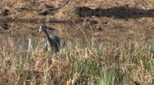 Great Blue Heron Hunting In Sedge Grass By Pond, Sees Prey, Follows It, Strikes, Catches, Eats