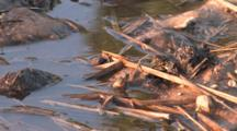 Spring Peeper Frog, Sitting At Pond's Edge, Calling