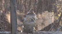 Ruffed Grouse, Standing On Log, Drums Toward Camera