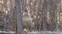 Ruffed Grouse, Standing On Log, Opens Beak, Moves Head Up And Down