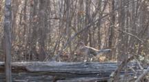 Ruffed Grouse, Walking Down Log, Side View