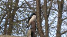 Tree Swallow, Male, Looking Around, Zoom To Bird House On Post