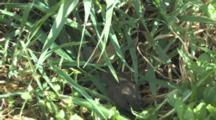 Woodland Vole, Hiding In Grass, Jumps Quickly, Stills