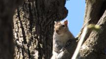 Grey Squirrel With Notch In Ear, Sitting In Basswood Tree, Moving Head