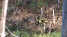 Canada Goose Hen, Goslings Resting On Grassy Bank, Goslings Competing For Warmth, Mingling