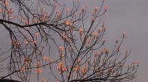 Morning Sunlight On New Spring Leaves On Ash Tree