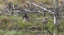 Canada Goose Family, Resting On Grassy Bog In Pond, Duck, Blackbird Preening In Bground