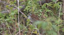 White Throated Sparrow On Branch, Looking Around, Exits