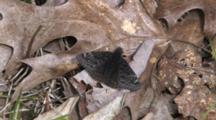 Butterfly, Sleepy Duskywing, Resting On Leaf, Slowly Opens Wings