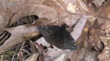 Butterfly, Sleepy Duskywing, Resting On Leaf