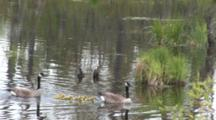 Canada Goose Parents Leading Goslings Through Water In Pond, Exit