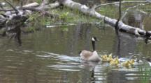 Canada Goose Family, Swimming In Pond, Goslings Bump Into Submerged Log, Scared