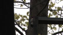 Yellow Bellied Sapsucker Hammering On Steel Post To Make Loud Sound