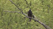 Turkey Vulture Sitting In Tree, Looking Back & Forth