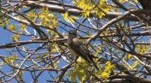 Western Kingbird In Tree, Looking Around