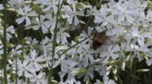 Hawkmoth, Snowberry Clearwing, Feeding On Phlox