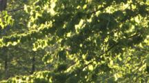 Insect Swarming In Sunlight, Zigzag In Figure Eights, Dragonfly Chasing, Green Tree Backdrop