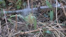 Spider Hatchlings In Nest On Gound, Zoom To Dry Grass, Habitat