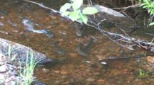 Suckers, Fish, Spawning In Small Minnesota Stream