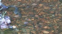 Fish Spawning In Small Minnesota Stream, Male And Female Moving Back & Forth In Water