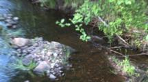 Trout Stream In Northern Minnesota, Mons Creek, Zoom To Fish Spawning In Gravel Bed