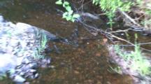 Fish Spawning In Gravel Bed, Zoom To Creek Habitat