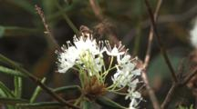 Labrador Tea, Blossoms, Growing Near Lakeshore