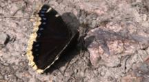 Mourning Cloak Butterfly, Folding Wings, Searching With Proboscis