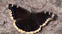 Mourning Cloak Butterfly, Snapping Open Wings, Ant Comes By Carrying Food