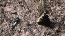 Chalk Fronted Corporal Dragonfly Sitting With Mourning Cloak Butterfly