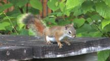 Red Squirrel On Deck Boards, Switching Directions, Exits