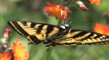 Eastern Tiger Swallowtail Butterfly, Hanging Upside Down, Feeding On Orange Hawkweed