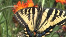 Eastern Tiger Swallowtail Butterfly, Hanging Upside Down, Feeding On Orange Hawkweed, Exits