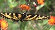 Eastern Tiger Swallowtail Butterfly, Hanging Upside Down, Feeding On Orange Hawkweed, Exits